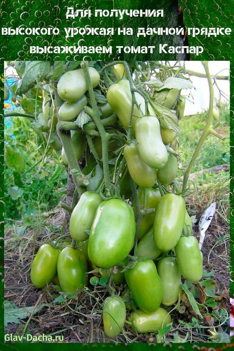 гибридный томат Каспар
