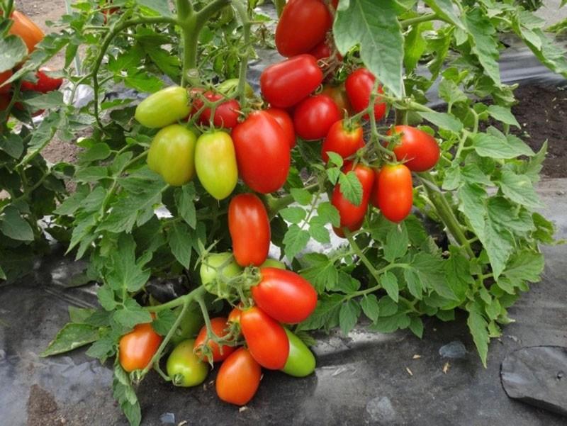 высокоурожайный сорт томатов Каспар