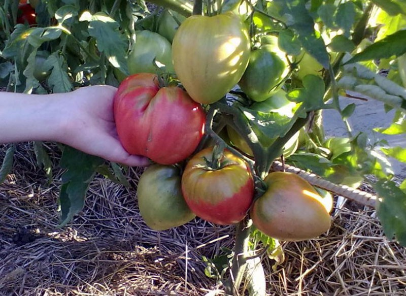 крупные плоды томата сорта Вельможа