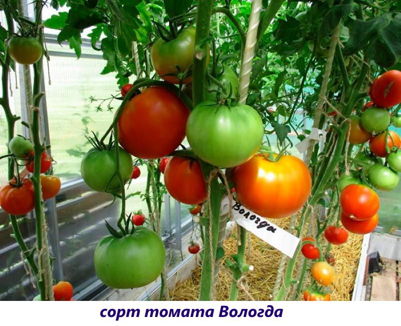 томат вологда