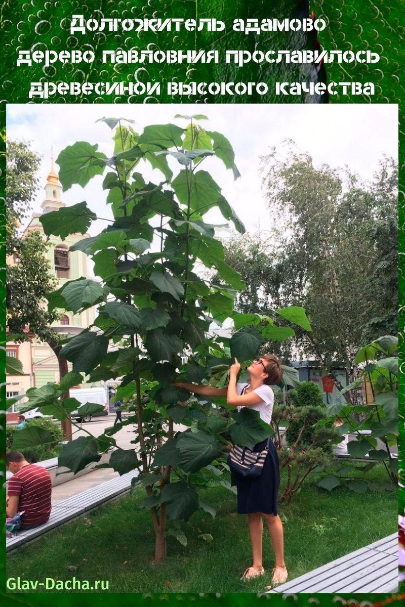 адамово дерево павловния