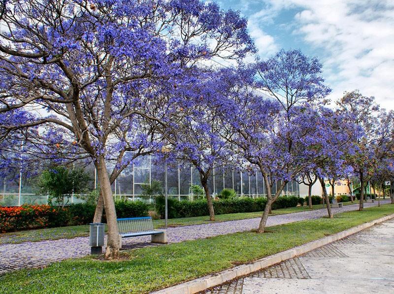 цветет павловния в парке