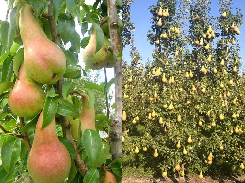 высокоурожайная груша Аббат Фетель