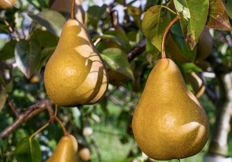 сочные ароматные плоды