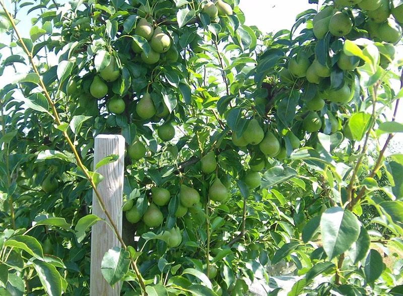 плодоносит груша просто мария
