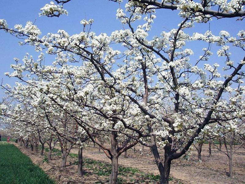 цветет груша просто мария