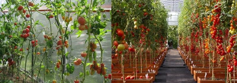 плодоношение индетерминантных томатов