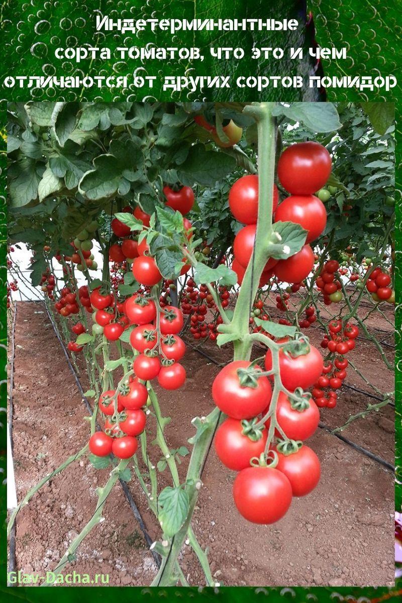 индетерминантные сорта томатов