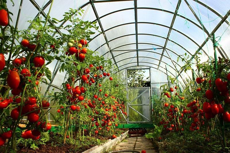индетерминантные сорта томатов в теплице