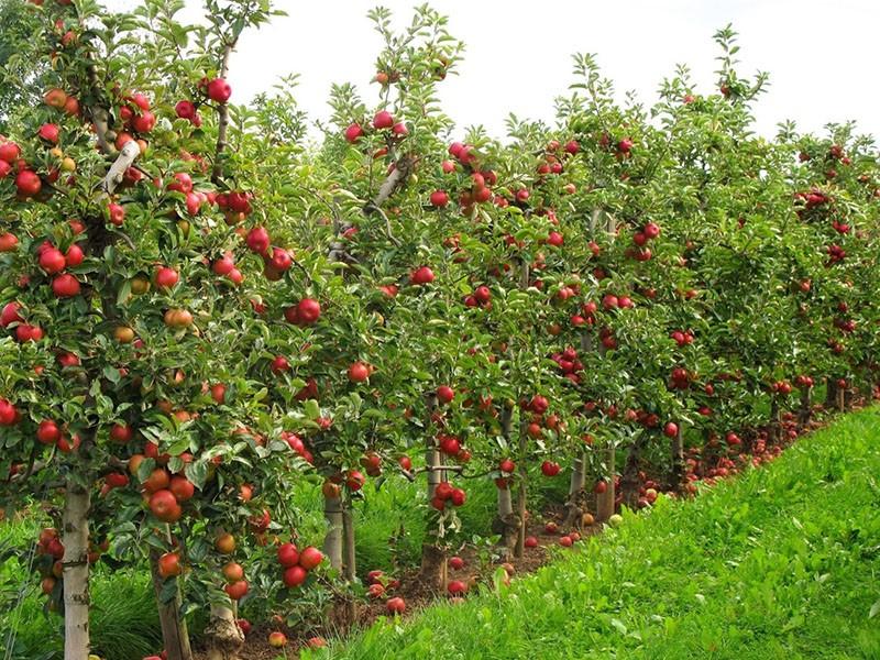 преимущества выращивания карликовых деревьев