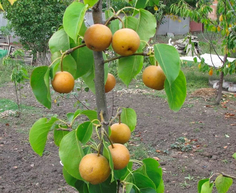 выращивание китайской груши