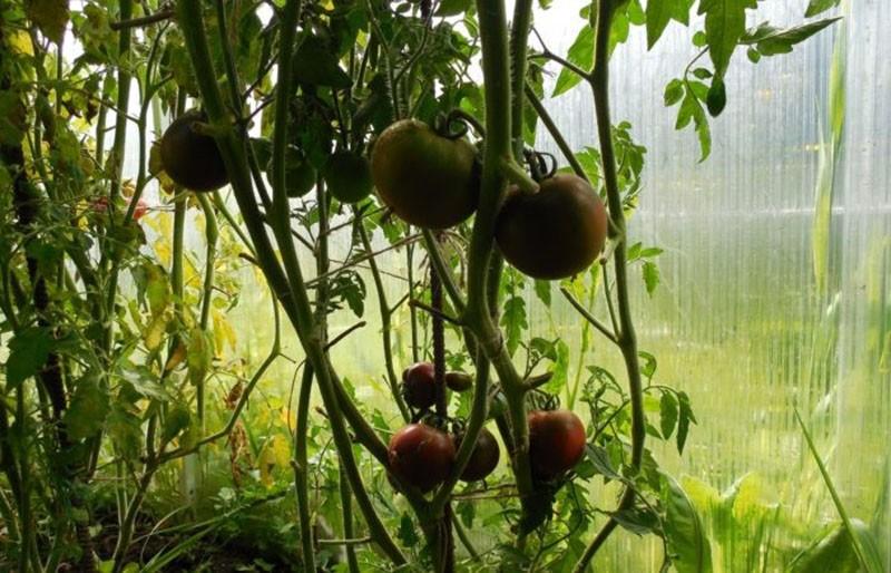 кусты помидор Кумато