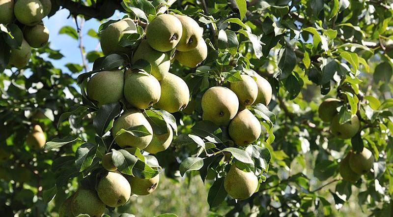 высокоурожайный сорт груши