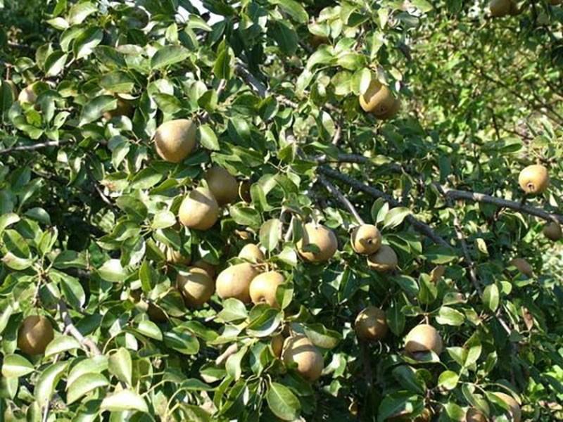 выращивание груши Белорусская поздняя
