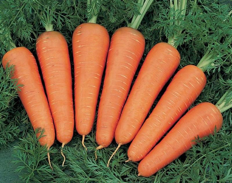 крупные плоды моркови сорта канада