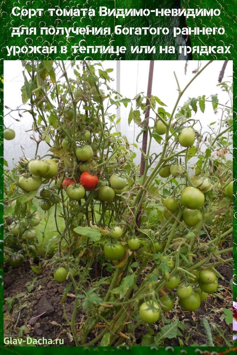 сорт томата видимо-невидимо