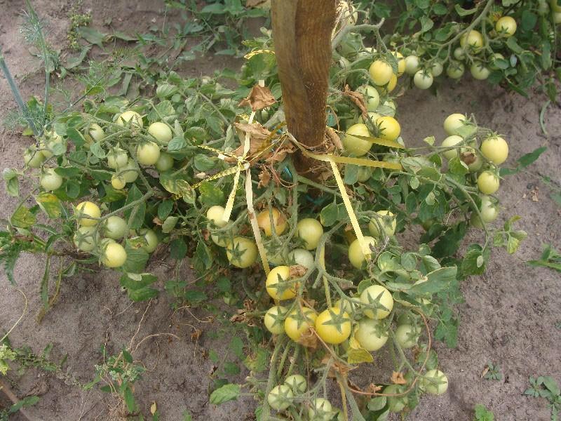 высокоурожайный сорт томата