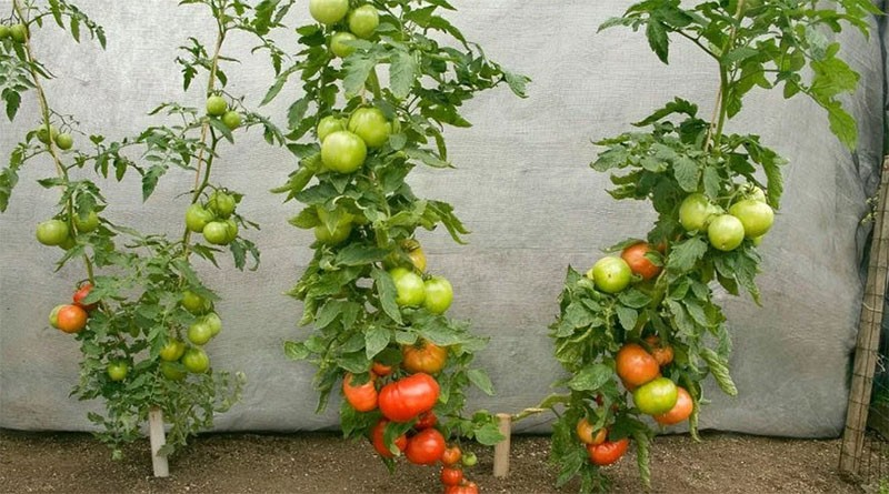 плодоносит томат палка колоновидный