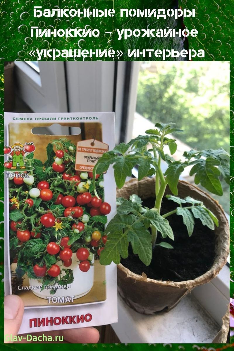 балконные помидоры пиноккио