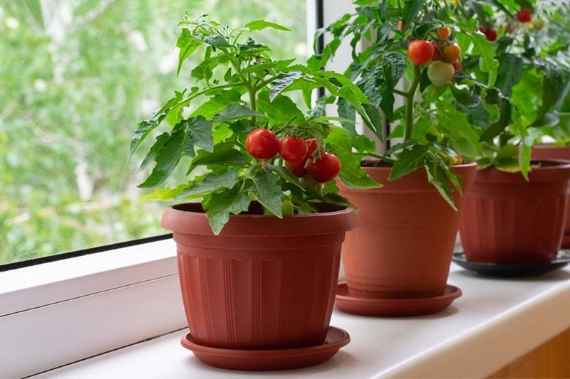 плодоносят балконные помидоры пиноккио