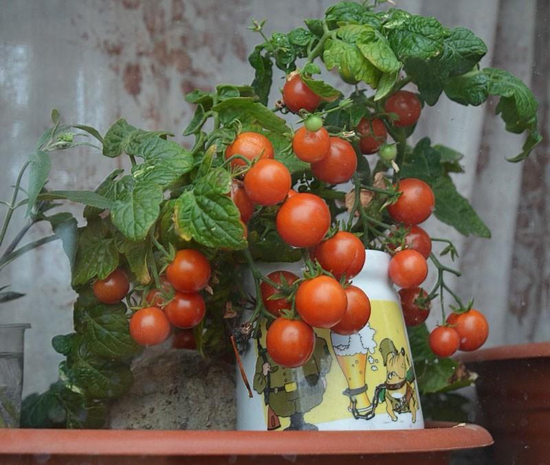 поспели томаты