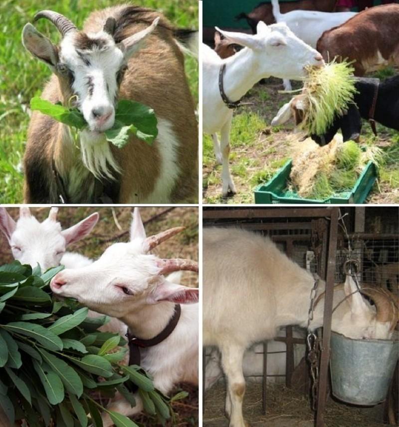 чем кормить козу чтобы увеличить удои