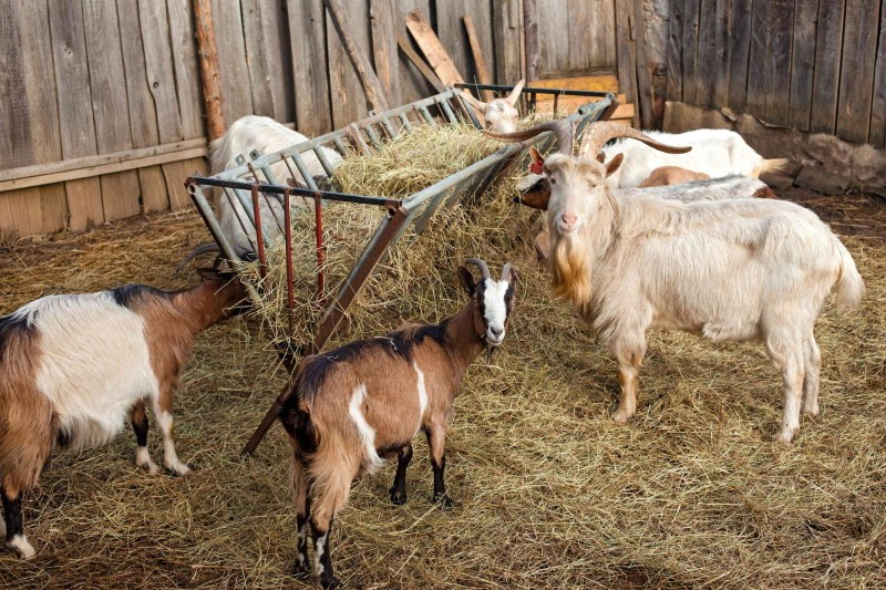 какое сено лучше для коз