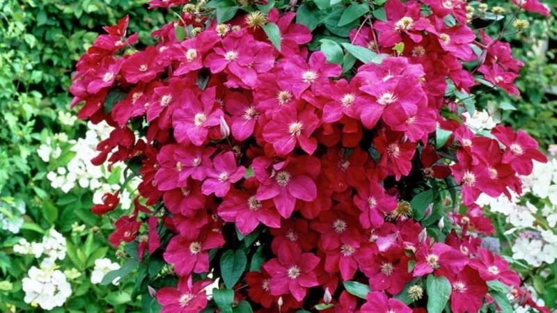 крупноцветковый клематис Эрнест Маркхем