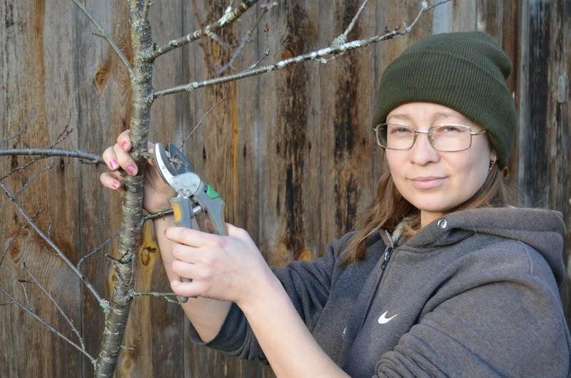 сроки проведения обрезки вишни