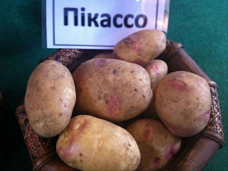 характеристики клубней картофеля