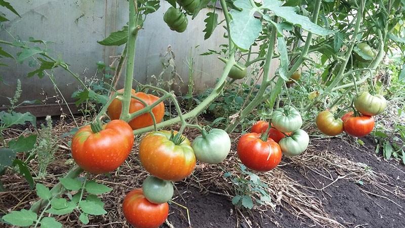 невысокие кусты томата сорта хлебосольный