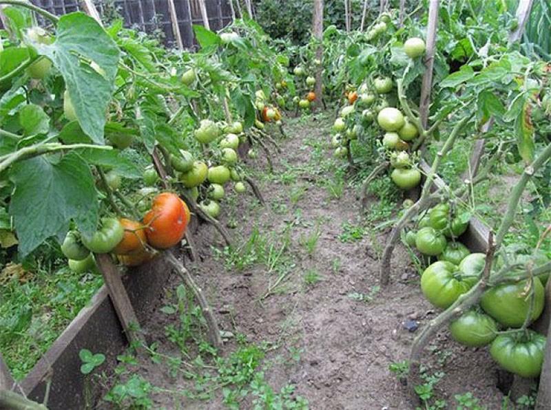 небольшие кусты томатов