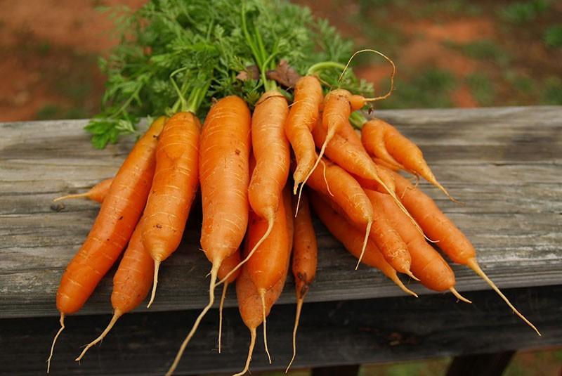 выбираем морковь для сушки
