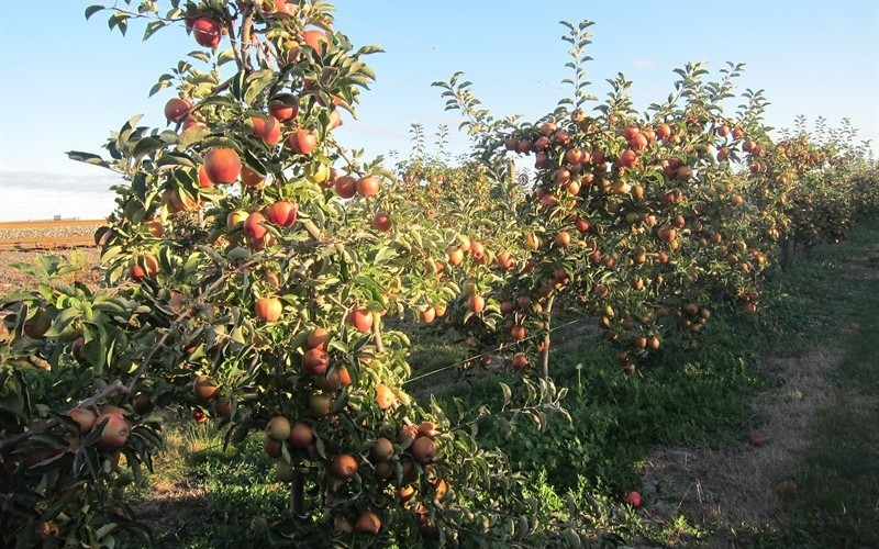 дерево яблони джонаголд