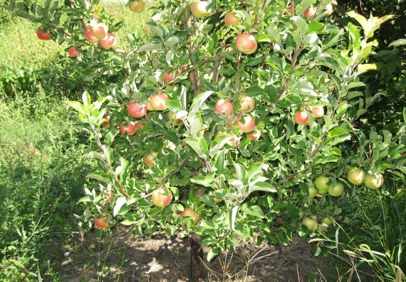 дерево яблони чемпион