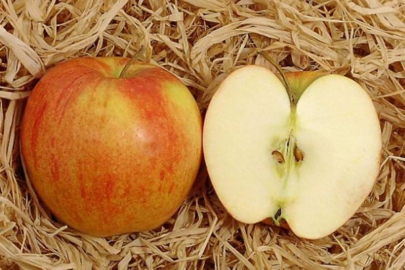 плоды яблони чемпион