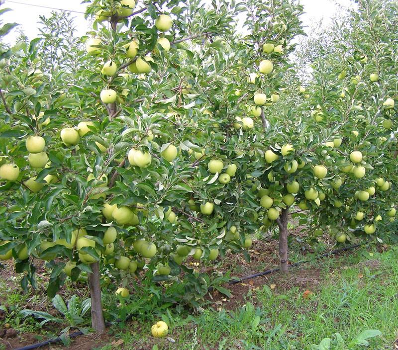 американский сорт яблони Голден Делишес