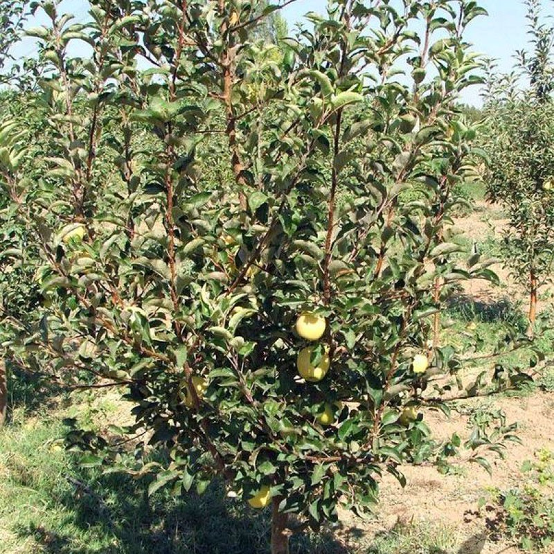 любимица садоводов яблоня Голден Делишес