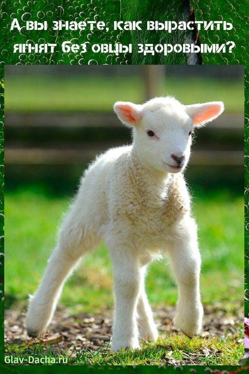 как вырастить ягнят без овцы