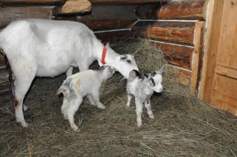 когда козлята начинают есть сено