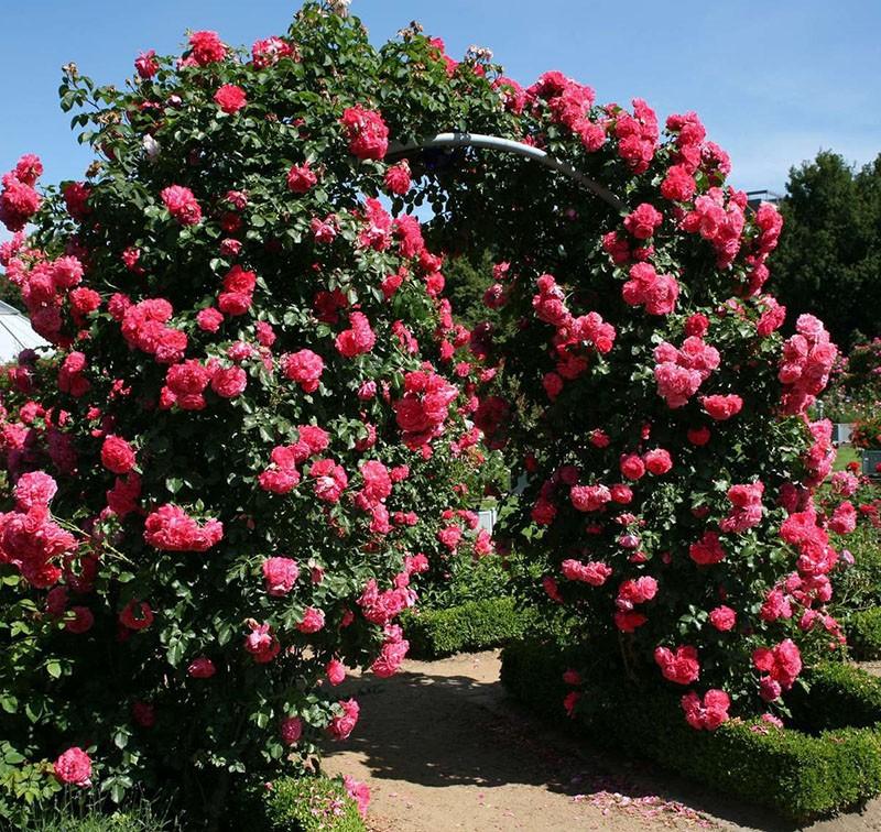 пышный куст плетистой розы