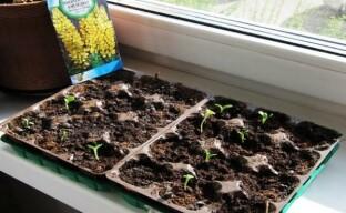 Внимание, люпин: посев семян на рассаду – что нужно знать