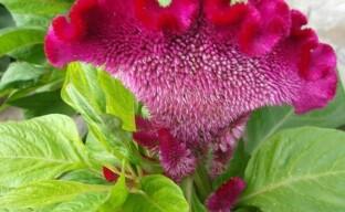 Целозия — яркий представитель неприхотливых однолетних цветов, цветущих до самой осени