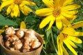 Чудо-корень от всех болезней: полезные свойства топинамбура и противопоказания