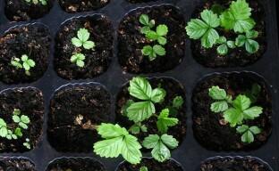 Ювелирная работа — выращивание земляники семенами