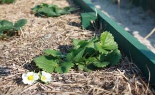 Клубника на тёплых грядках – весенний уход