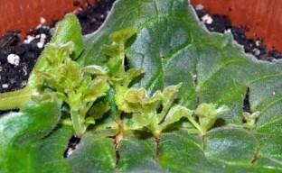 Два легких способа получить новые растения глоксинии — размножение листом