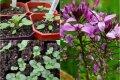 Цветок-паутинка клеома — выращивание из семян, когда сажать лучше