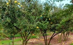 Некоторые особенности посадки и ухода за айвой в саду