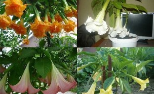 Плюсы и минусы выращивания бругмансии, подборка популярных сортов
